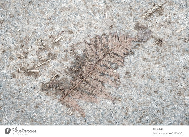 Flattened Fern - Flattened fern on a dirty asphalt surface. flattened dry grungy leaf foliage plant background dirt road rural natural structure abstract print