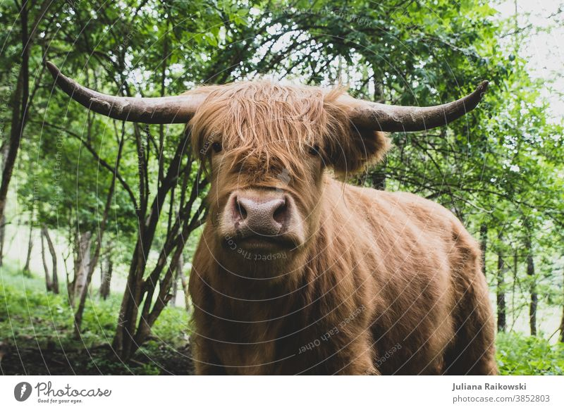 Highland cattle Bull highland cattle Animal Exterior shot Farm animal Cow 1 Brown Colour photo Cor anglais Cattle Pelt Day Animal portrait Willow tree Deserted