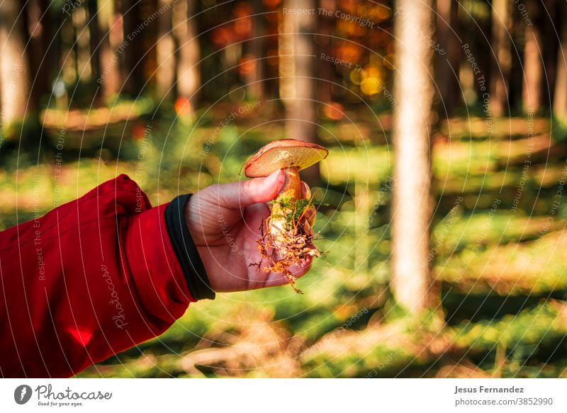 Close up of hand holding a porcini mushroom autumn background brown closeup fall food forest fungal grass green macro moss natural nature organic outdoors plant