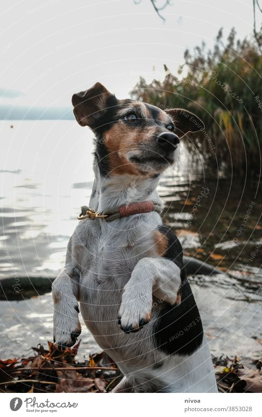 Jack Russel Terrier Jack Russell terrier Dog Animal Pet Cute 1 Brown Small Lifestyle portrait Purebred Obedient White owner Exterior shot Delightful intelligent