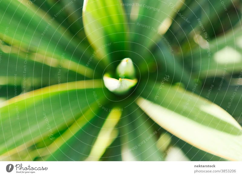 Green Plant with Narrow Blade Leaves plant blade foliage leaf close up green no people nobody tip point overhead shot top down view soft focus sword-like