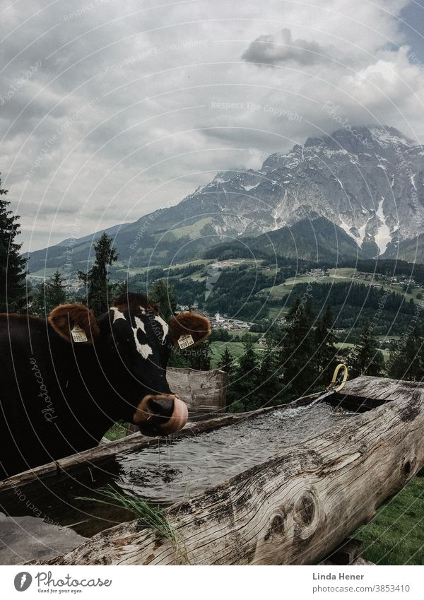 Cow in front of mountain panorama, scooping the water with its tongue Water water trough Tongue Alps mountains mountain range Green Hill meadows Landscape