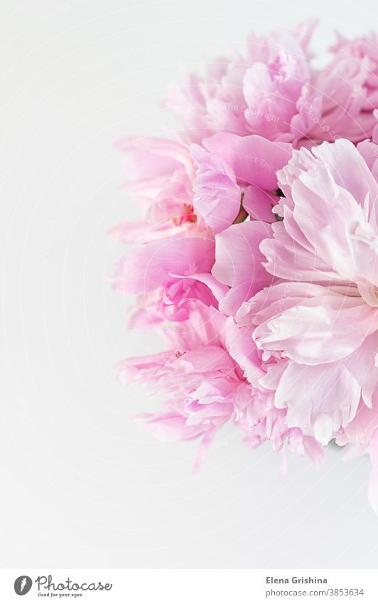 Pink abstract floral background. Peony flower close up. peony pink vertical blurry day birthday postcard florist floristic spring beautiful lovely bloom blossom