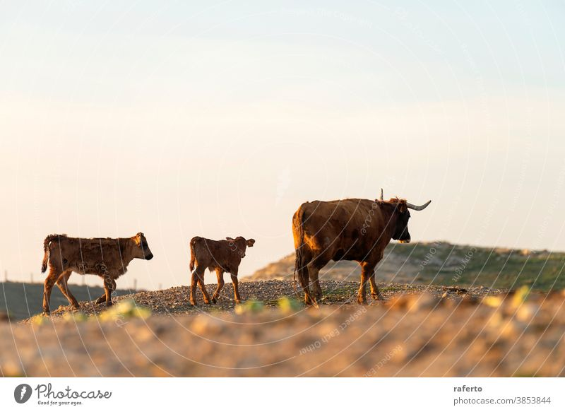 Coat and calf gazing on pasture at sunset cow animal bull brown cattle nature farm field grass agriculture rural livestock mammal herd beef horn farming grazing