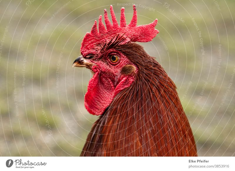 cock Cockscomb Rooster Poultry fowls portrait Animal Animal portrait Love of animals Farm