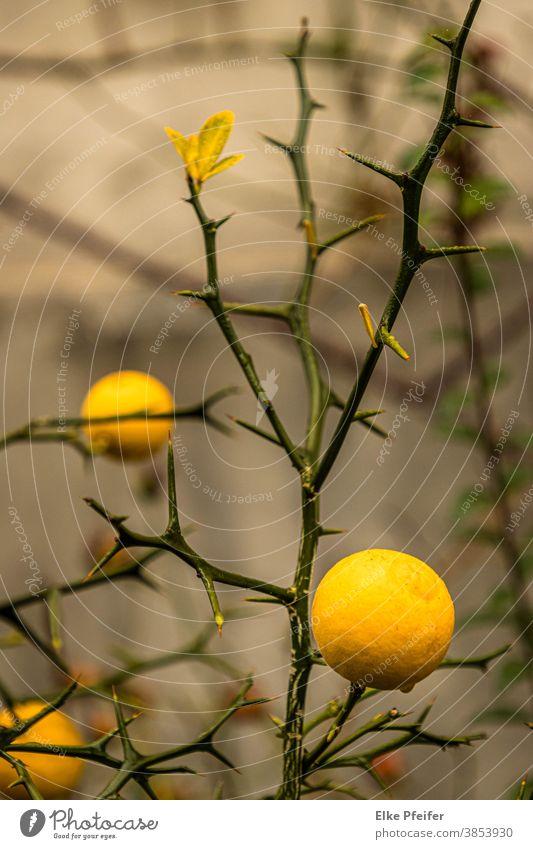 lemon Lemon Citrus fruits Lemon yellow Lemon tree Plant Fruity
