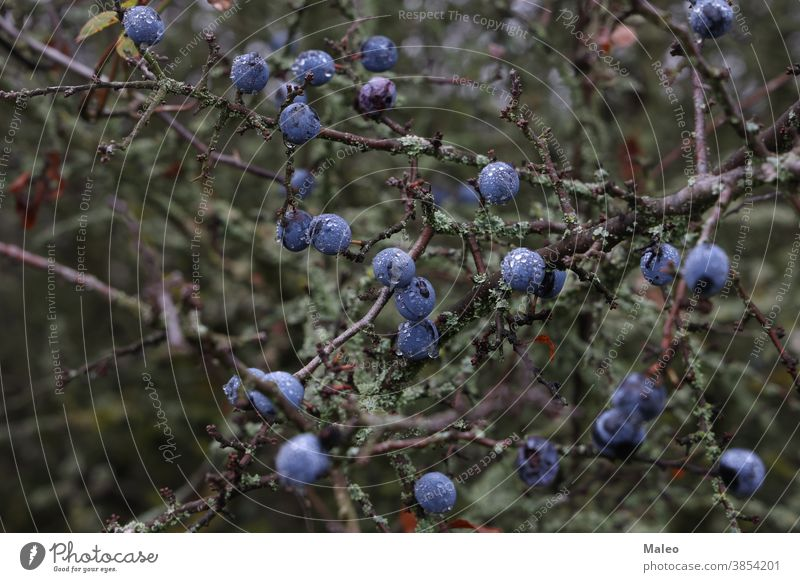 Blue berries of blackthorn ripen on bushes adult agriculture antioxidant autumn beautiful berry blue botany branch cherry close-up damson deciduous eating fall