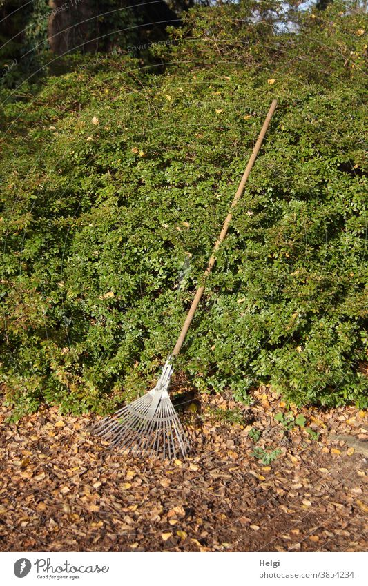 waiting to be used - leaf rake leaning against a green hedge, ready to rake away the leaves on the ground Rake deciduous rake broom Autumn foliage