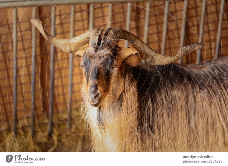 beautiful mountain goat. Mountain ram portrait. Mountain goat with big horns in zoo animal nature natural rock view wildlife mammal europe landscape male