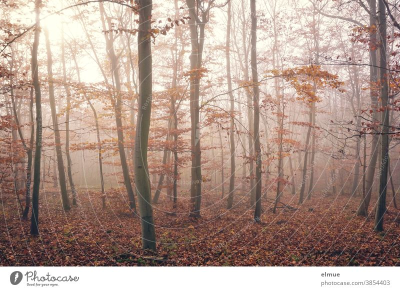 Autumnal beech forest in fog Forest Deciduous tree Beech tree Leaf Beech wood Tree Nature Fog Misty atmosphere Light Tree trunk Wood Environment Brown foggy