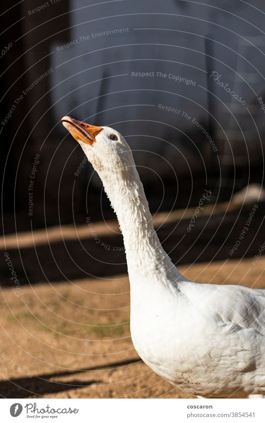 Domestic goose on a farm agriculture animal animal themes background beak beautiful bird birds closeup countryside detail domestic domestic animal domesticated