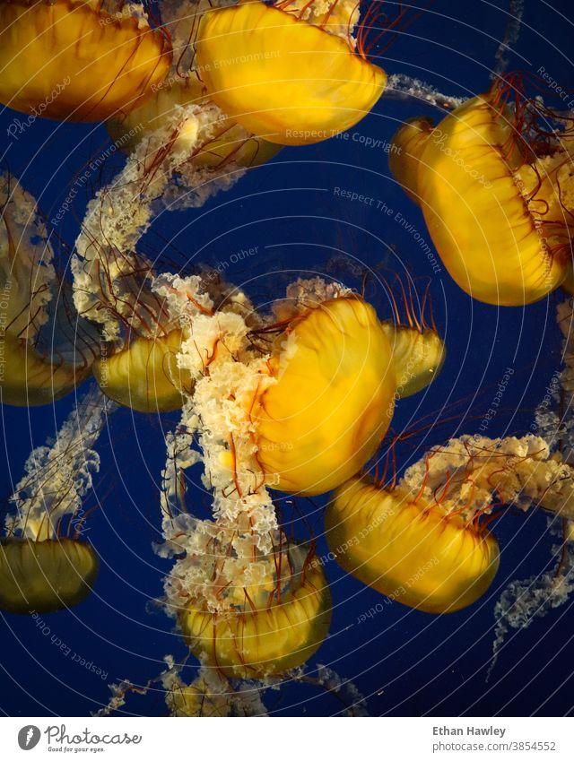 jellyfish floating in aquarium vibrant Water Aquarium Blue Underwater photo Ocean Multicoloured yellow marine Animal Marine animal underwater sea life nature