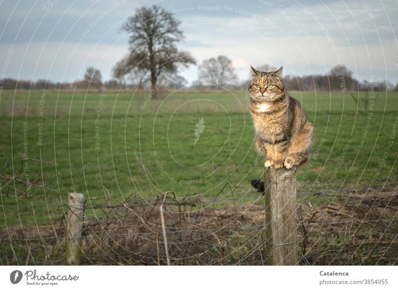 The tabby cat on the fence post overlooks its hunting ground fauna flora Animal Pet mackerelled Cat Observe Climbing Calm Sit Plant Grass Tree Meadow Winter Sky