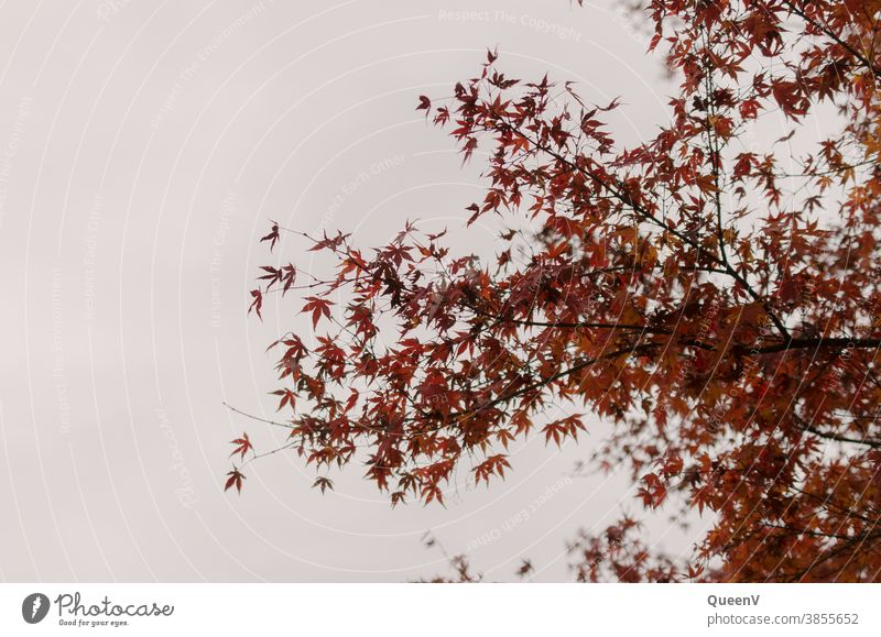 Red fan maple leaves in autumn with grey sky Autumn Fan Maple Maple tree October November Moody Tree Sky Gray Nature Leaf Seasons To fall background Brown