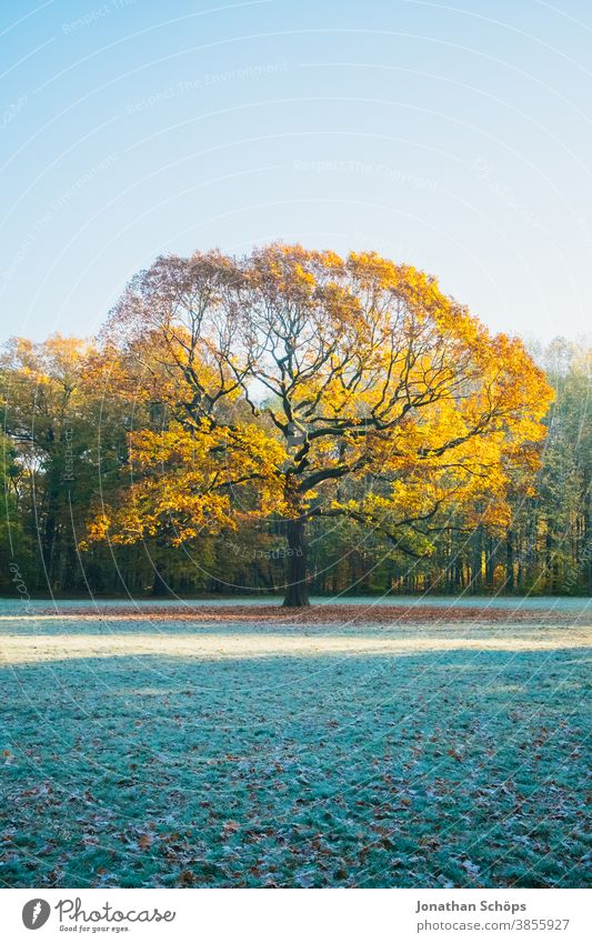 Beautiful old oak tree on a meadow in the woods with sun and frost Chemnitz Germany Küchwald November autumn background autumn colors autumn forest