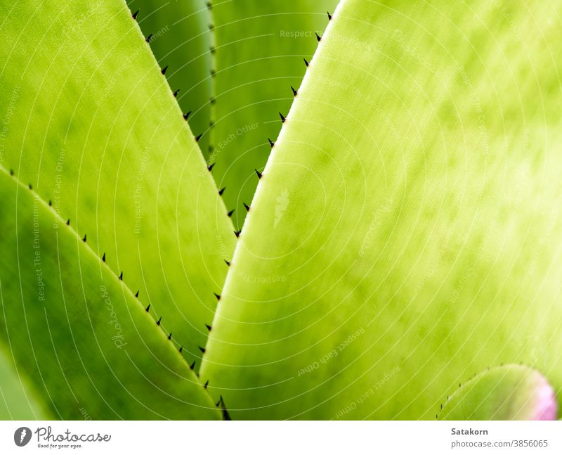 Detail texture and thorns at the edge of the Bromeliad leaves background green plant bromeliad garden nature tropical flora botanical leaf macro closeup natural