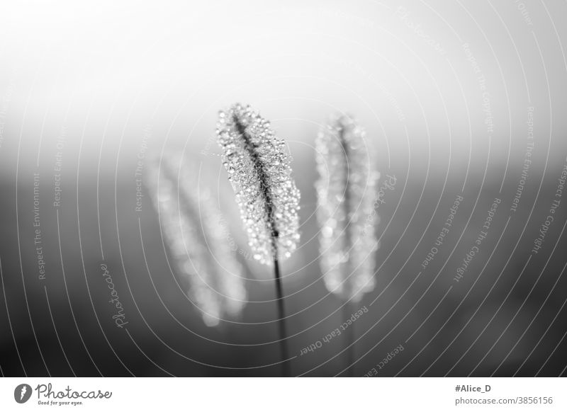 nature meadow grasses close up with dew drops in the morning mist in black and white alopecuroides autumn background beautiful bloom blossom botanical botany
