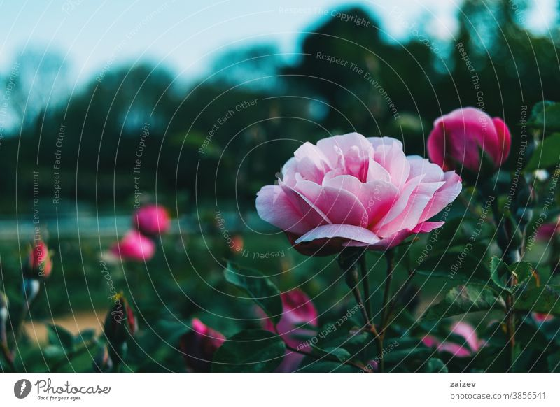 Close up of a beautiful light pink rose in a garden Rose rosaceae Ornamental Gardens cut flowers Commercial Perfume Edible Vitamin Flower Blossom Blooming