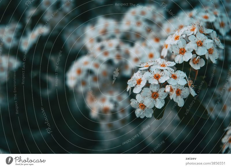 Close-up of some bunches of white crataegus monogyna flower blossom blooming petals botany botanical vegetation floral nature natural