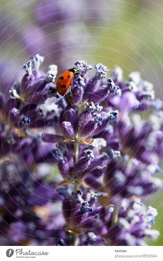 A red ladybird with three black dots on the side crawls over lavender flowers Ladybird Lavender Beetle insects Animal points Red purple Violet Blossom Happy