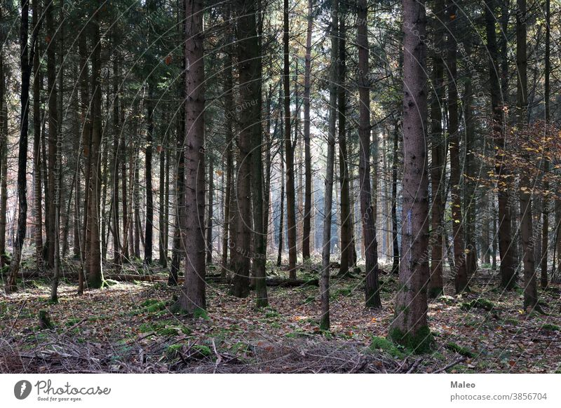 Trunks of trees in a coniferous forest natural leaf plant outdoor green wood autumn beams branch bright calm crossing dawn day environment fall fir fog foggy