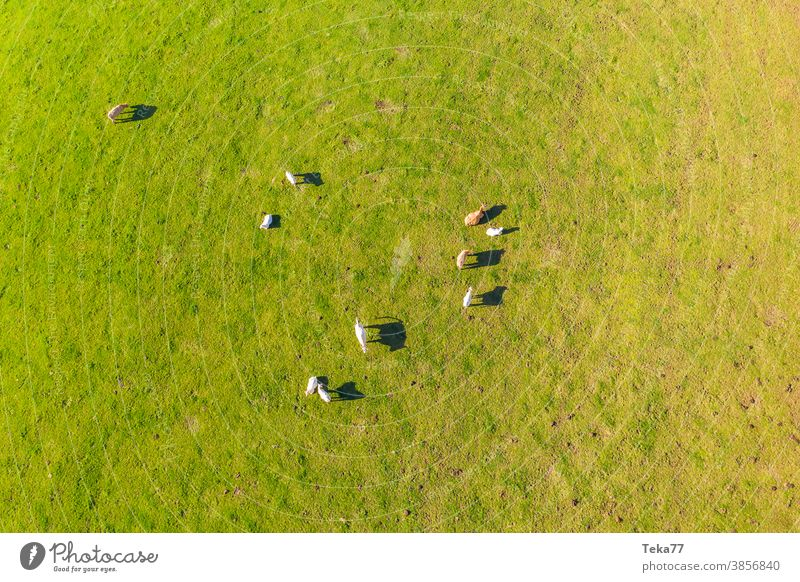 a flock of cows on a meadow from above animal green yellow farm animals field milk meat farm animals from above cows from above