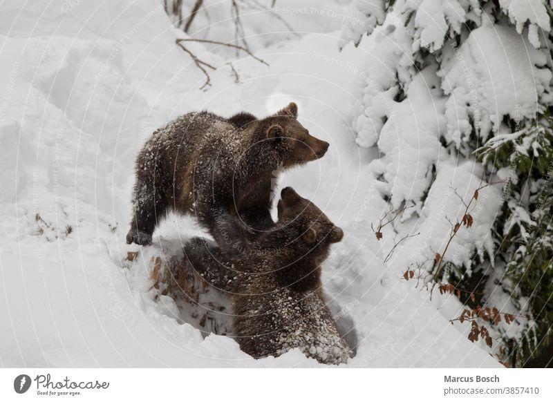 Braunbaer, Ursus arctos, brown bear 2 Baer Baeren Braunbaeren Gesicht Pelztier Petz Problembaer Raubtier Raubtiere Saeugetier Saeugetiere Teddy Tier Tiere