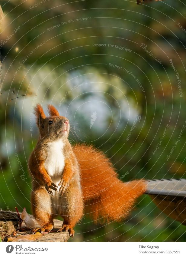 Squirrel in full size standing from the front Animal Nature Wild animal Cute Exterior shot Deserted Pelt Small Paw Tails Animal portrait Rodent Day Full-length
