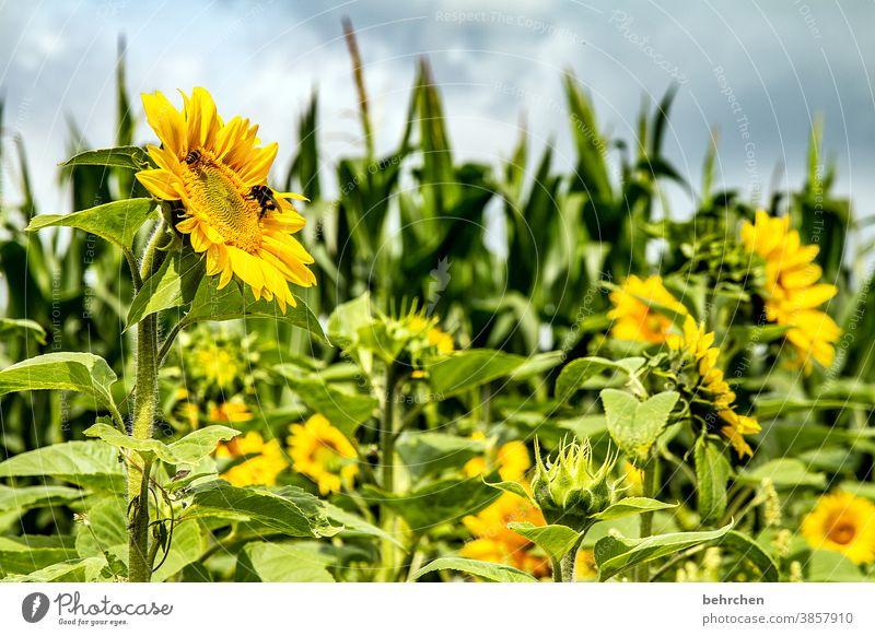 SUN'(tags)FLOWERS sunshine Hope Meadow Close-up Sunflower Pollen pretty Landscape Garden Splendid Sunlight pollen Warmth Environment Blossom leave luminescent