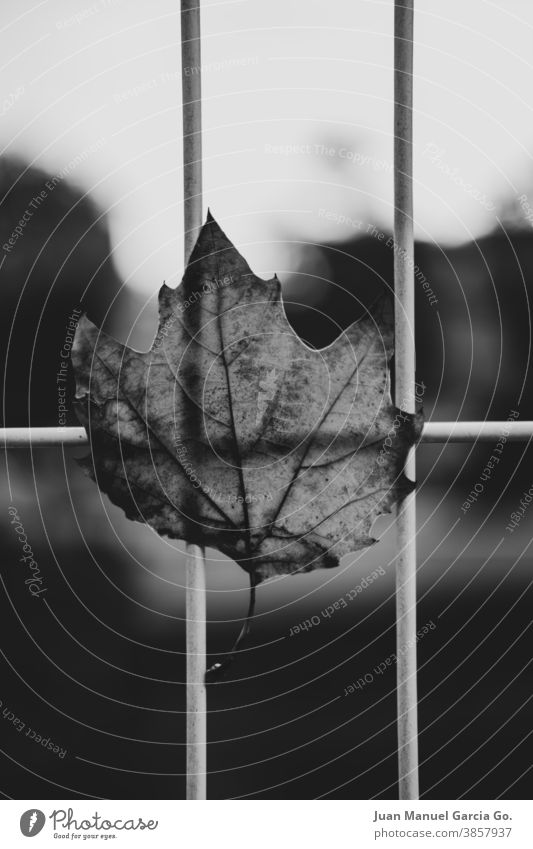 Dry leaf of tree in the city caught in a metal fence by the wind Autumnal weather Environment Day Deserted Early fall falling Autumnal colours Exterior shot