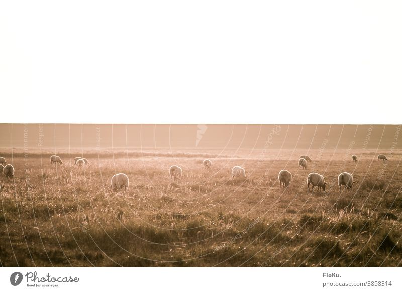 Sheep on the dike in autumnal sunlight sheep Dike Dithmarschen Northern Germany Herd Grass Nature Environment Koog Sunlight sunshine Colour photo Meadow