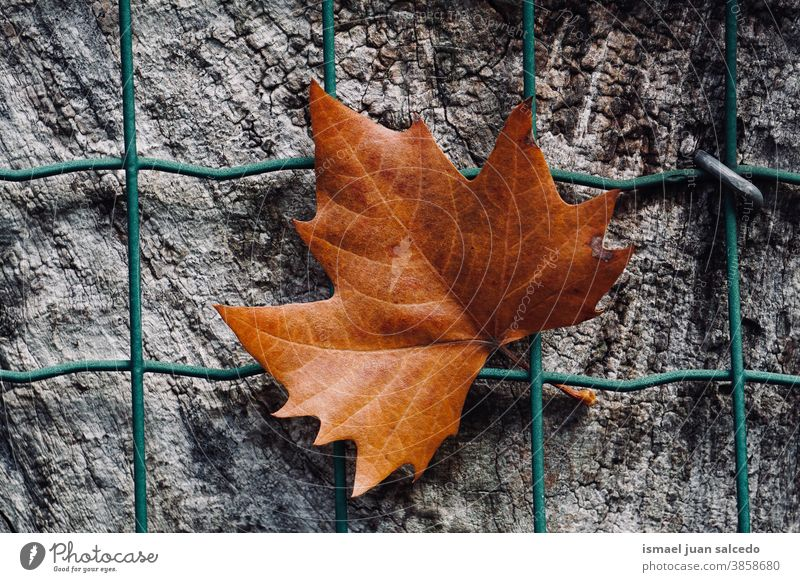 brown maple leaf on the metallic fence in autumn season, autumn leaves and autumn colors wire fence dry dry leaf falling leaves nature change Autumnal