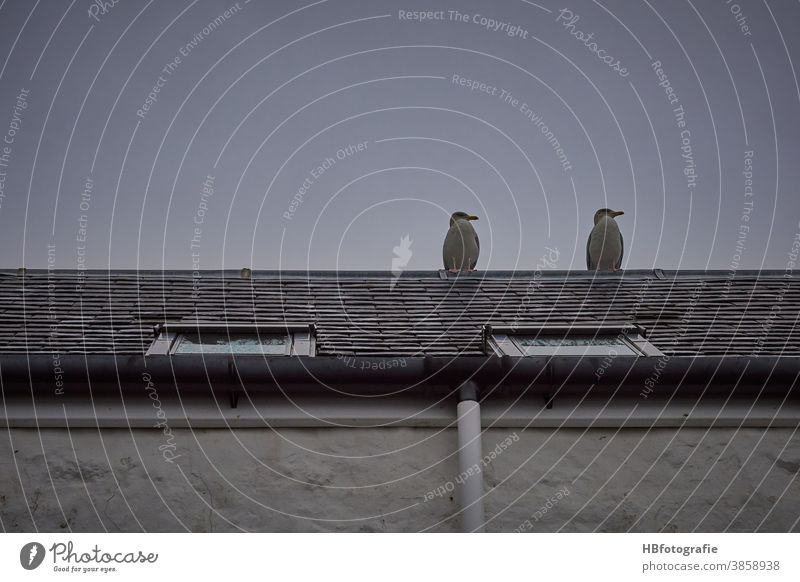 Two seagulls on the roof birds Roof Skylight house roof Seabirds Animal roof view Remote View