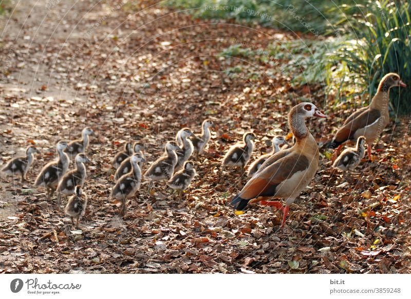 Single file... fleeing Nile geese. Nile Goose Goose step Duck Duck birds Escape Flee Boy (child) Animal Nature Bird Poultry Wild animal Beak animal world