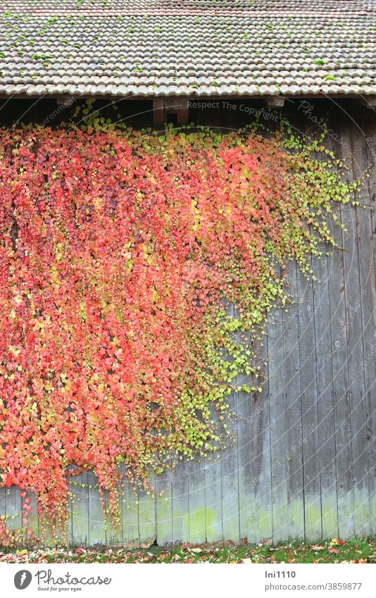 wild wine in autumn colouring embellishes weathered wooden wall of a shed Autumn Autumnal colours Virginia Creeper creeper maiden vine
