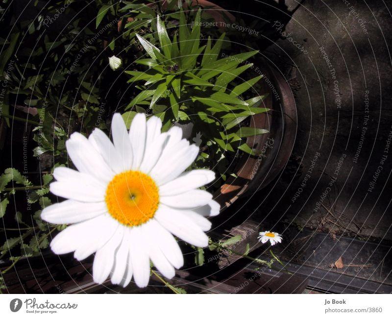 flower Flower Yellow White Dandelion