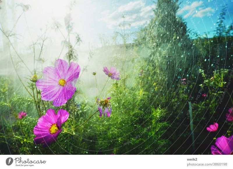 In one pour Idyll Landscape Beautiful weather Blossoming Movement Bright Wild plant Cosmea flower Light Shallow depth of field Detail Illuminate Environment