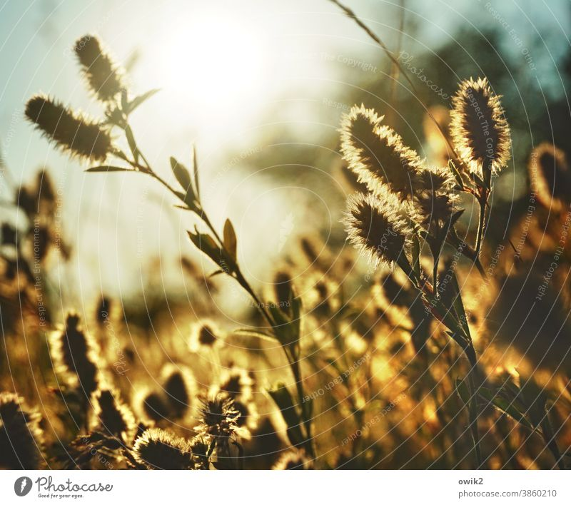 Warm evening Wild plant shimmering warm colors Light (Natural Phenomenon) Idyll reddish light Detail Colour photo Blade of grass Sunlight Copy Space top