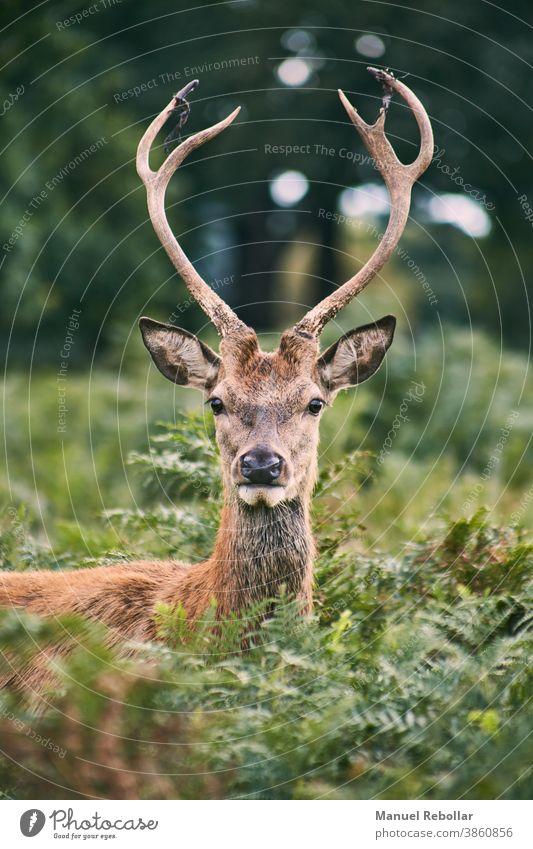 deer photography animal wild wildlife nature stag mammal male antler forest white vector beautiful art illustration horn design landscape christmas isolated