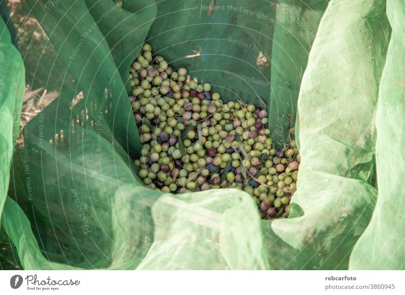 farmers collecting olives in field of spain mediterranean food nature green harvest agriculture fruit tree rural cultivation natural plantation man ripe