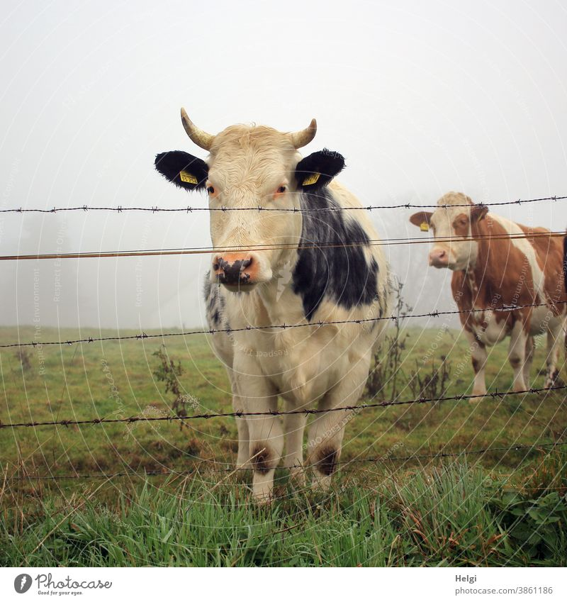 curious - two cows stand in the morning mist on a pasture behind the fence and look curiously at the photographer Cow Animal Cattle Meadow Willow tree Fence