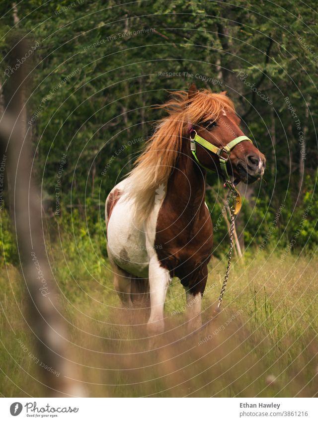pony grazing in a field horse meadow Animal Horse Pony Animal portrait Nature Meadow Pasture Mane Farm animal Hair