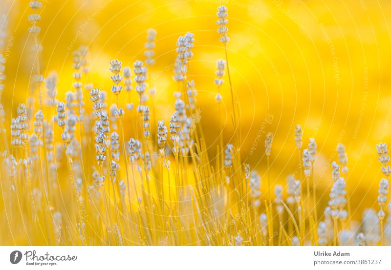 Lavender dream , or blue meets yellow 😉 Shallow depth of field blurriness Neutral Background Isolated Image Deserted Abstract Close-up Exterior shot