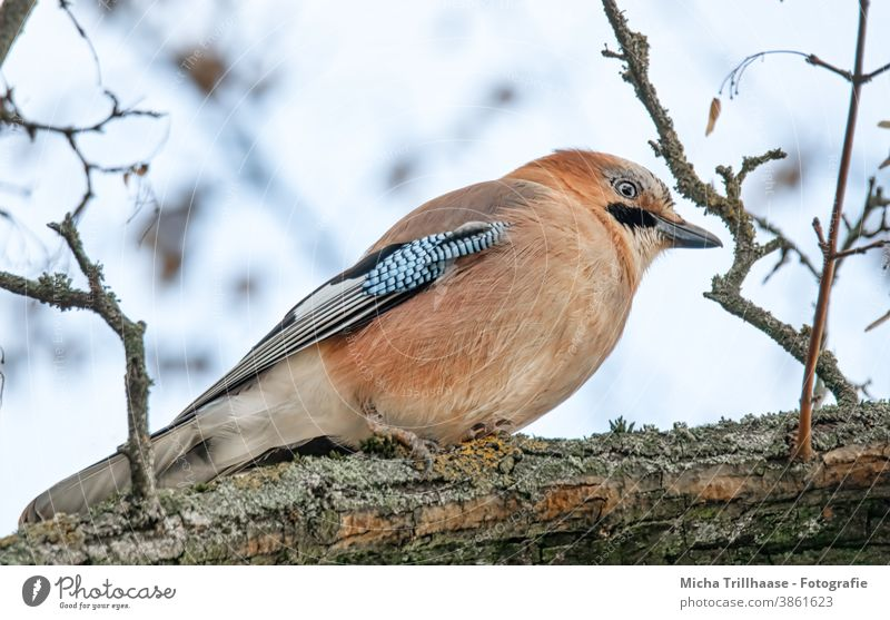 Jay in the tree Garrulus glandarius Animal face Head Beak Eyes Grand piano Feather Plumed Bird Wild animal Tree Twigs and branches Observe Near Nature