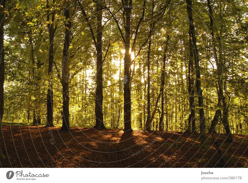 shining forest Environment Nature Plant Earth Sun Sunlight Beautiful weather Tree Forest Natural Warmth Green Moody Woodground Treetop Lighting Illuminate