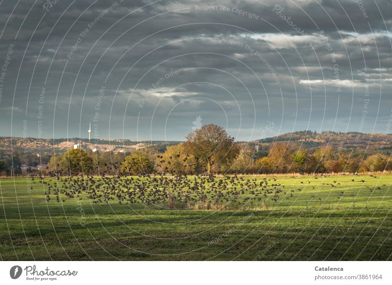 A flock of starlings flies up Nature flora birds Stare Meadow Grass Landscape trees Autumn Sky Clouds Hill Television tower fauna Gray Green Brown