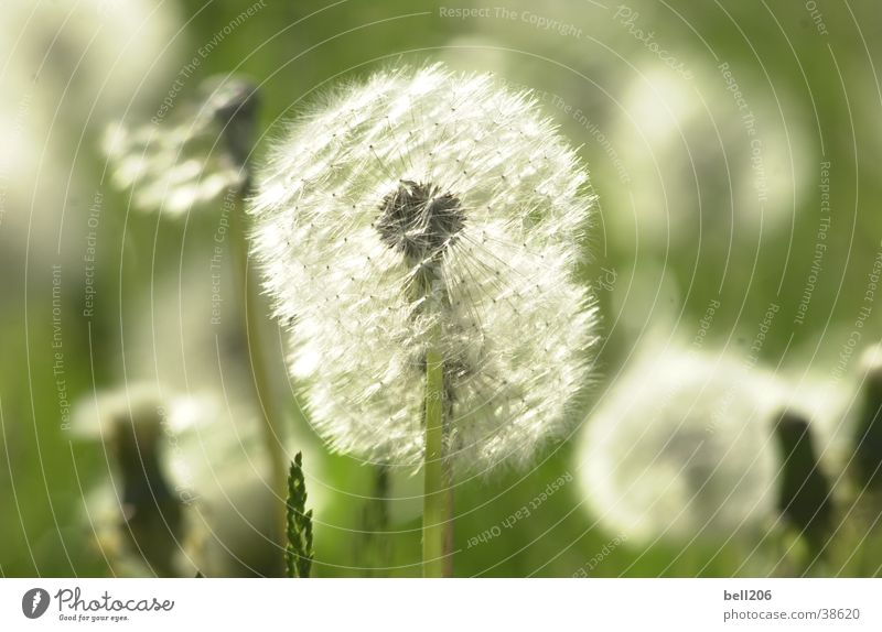 dandelion Dandelion Flower Ease Meadow Vulnerable