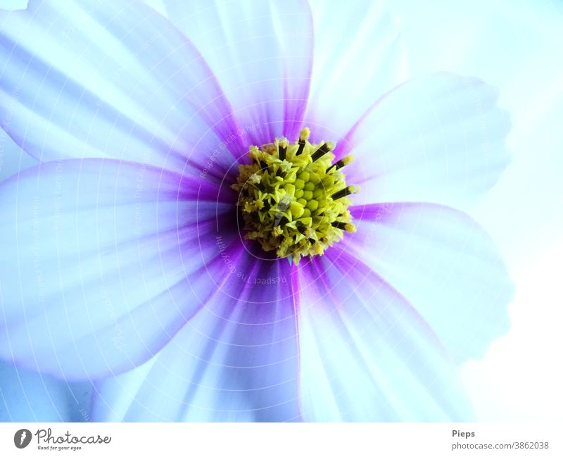 White Cosmea blossom with purple accents Blossom Flower Detail Nature Blossom leave Plant Cosmos Transience delicate colours Birthday Gift Romance Summer