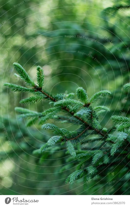 Green natural background. Branches with young spruce shoots on a green blurred background. nature spruce branch fir forest christmas tree conifer coniferous