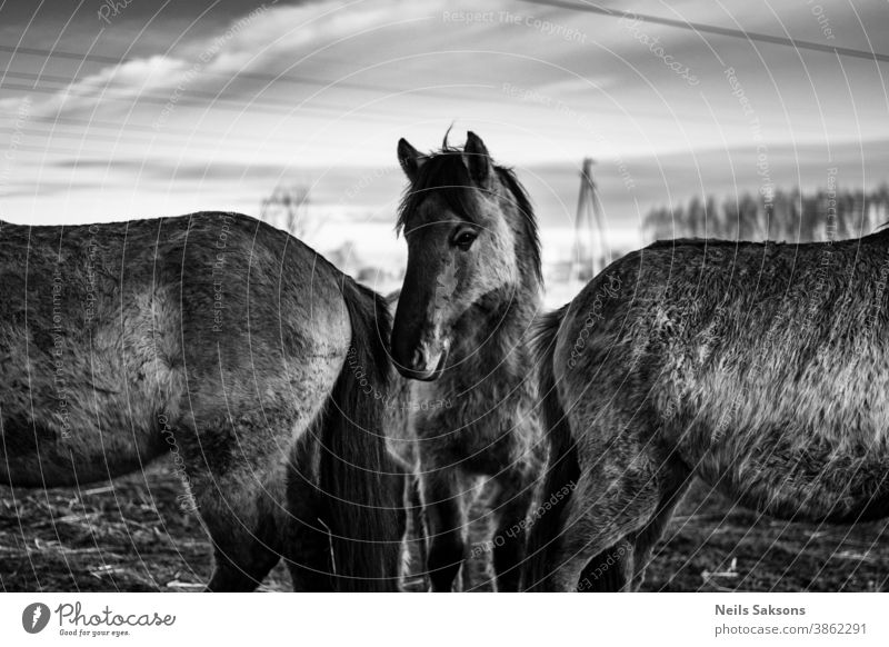 wild horses posing under the electric lines Adventure animal konik beauty color colorful tarpan country dawn domestic dramatic dreamy dusk equestrian farm field